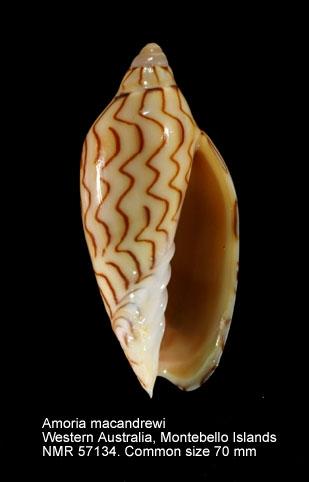 Amoria macandrewi