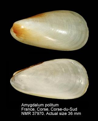 Amygdalum politum
