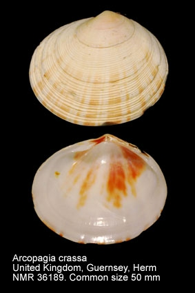 Arcopagia crassa