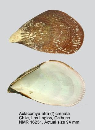 Aulacomya atra