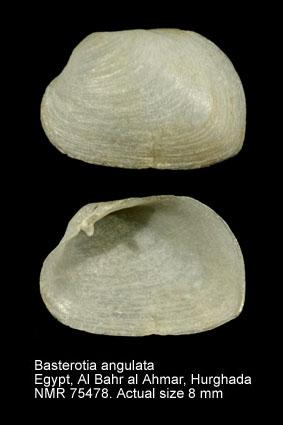 Basterotia angulata