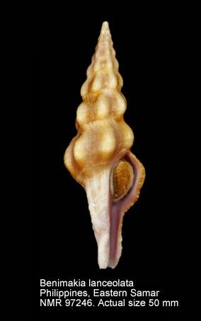 Benimakia lanceolata