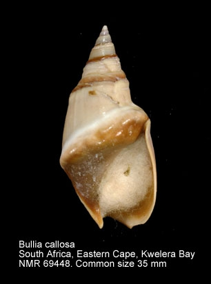 Bullia callosa