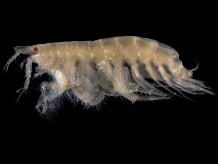 Bathyporeia pelagica (Bate, 1856)