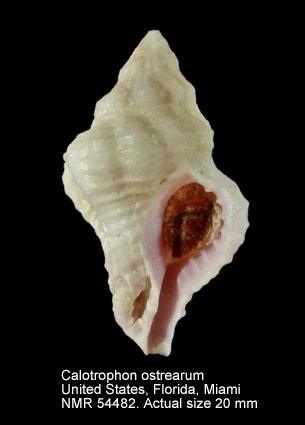 Calotrophon ostrearum