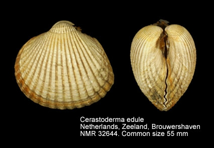 Cerastoderma edule