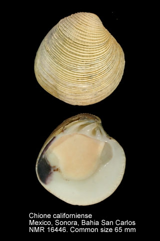 Chione californiensis