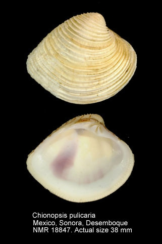Chionopsis pulicaria