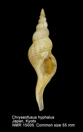 Chryseofusus hyphalus