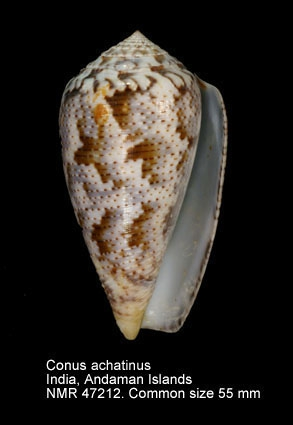 Conus achatinus