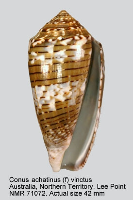 Conus achatinus