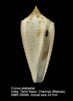 Conus alabaster