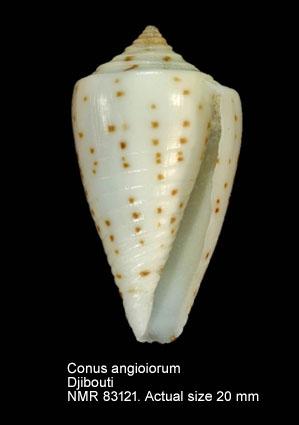 Conus angioiorum