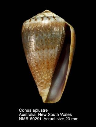 Conus aplustre