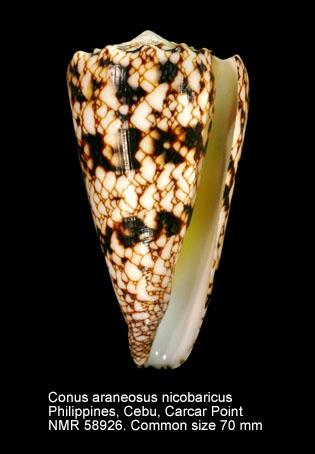 Conus araneosus nicobaricus