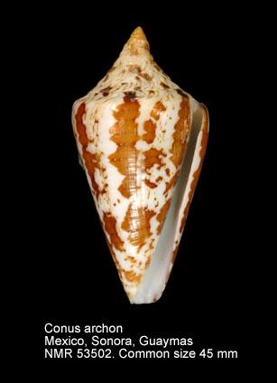 Conus archon