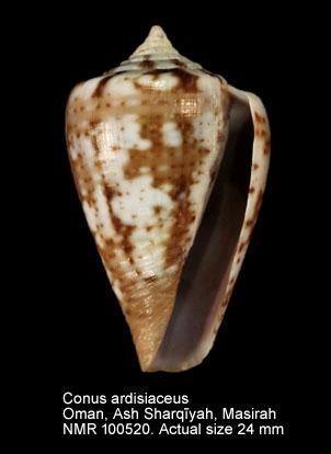 Conus ardisiaceus