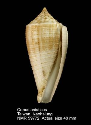 Conus asiaticus