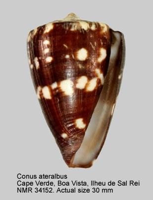 Conus ateralbus