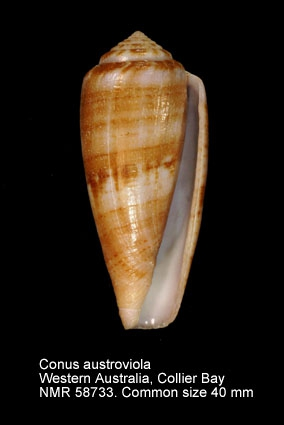 Conus austroviola
