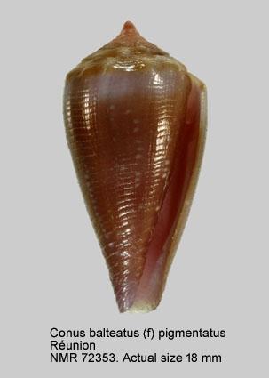 Conus balteatus pigmentatus