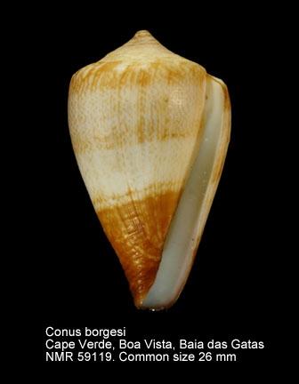 Conus borgesi
