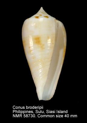 Conus broderipii