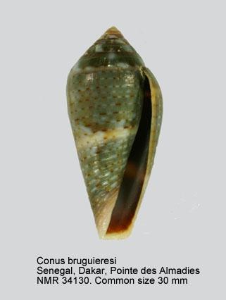 Conus bruguieresi