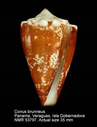 Conus brunneus