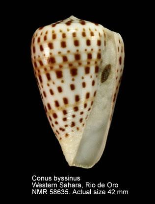 Conus byssinus