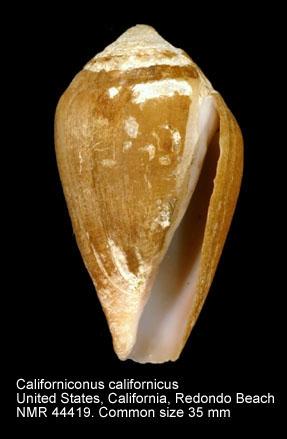 Californiconus californicus