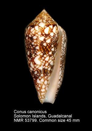 Conus canonicus