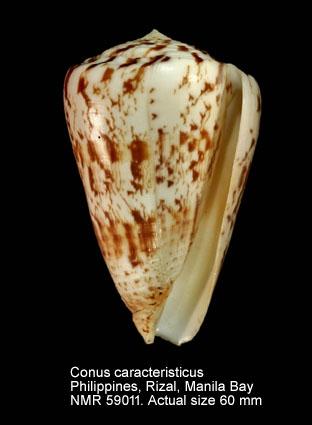 Conus caracteristicus