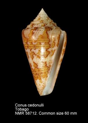 Conus cedonulli