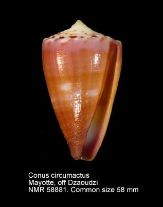 Conus circumactus