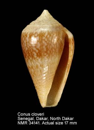 Conus cloveri