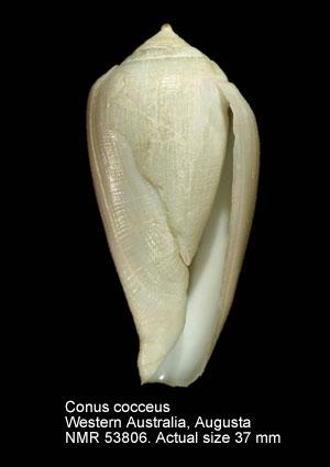 Conus cocceus