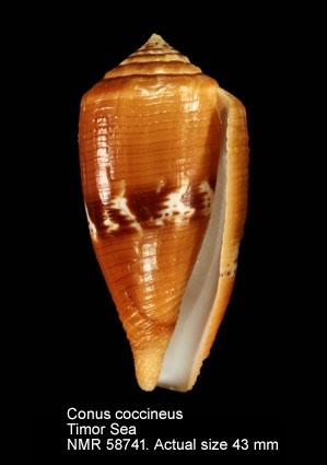 Conus coccineus