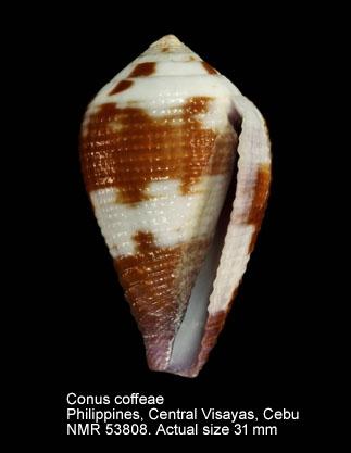 Conus coffeae