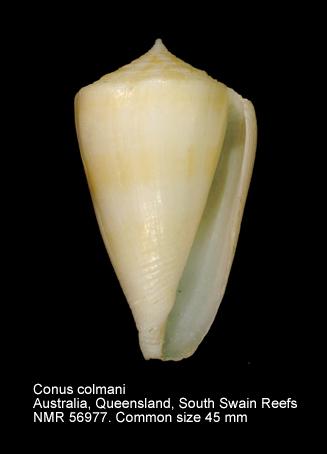 Conus colmani