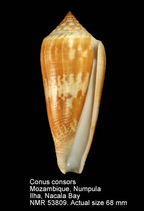 Conus consors