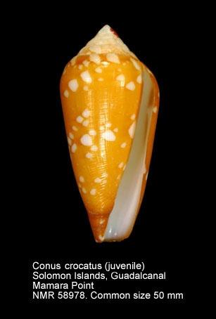 Conus crocatus