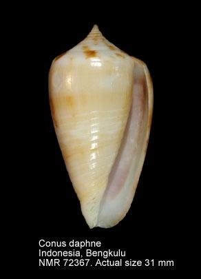 Conus daphne