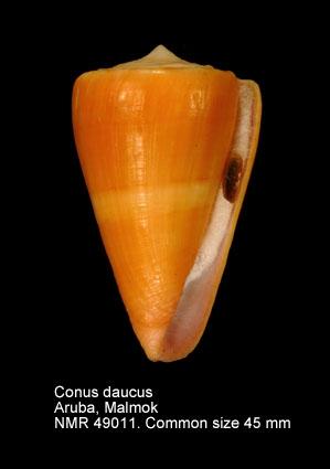 Conus daucus