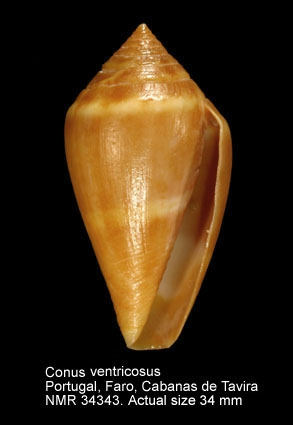 Conus desidiosus