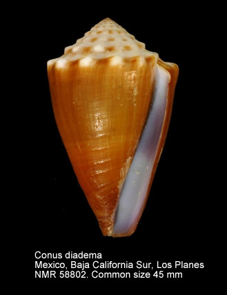 Conus diadema