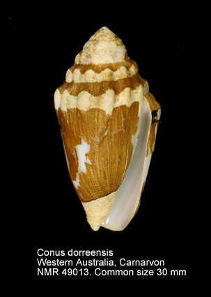 Conus dorreensis