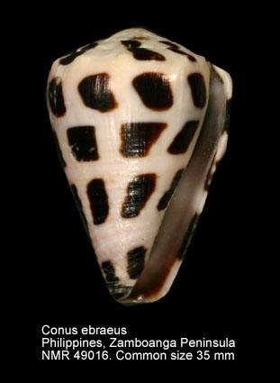 Conus ebraeus