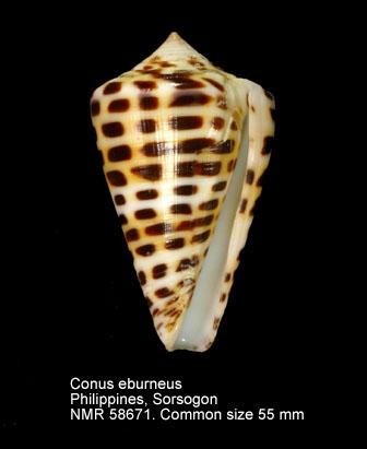 Conus eburneus