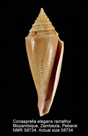 Conasprella elegans ramalhoi